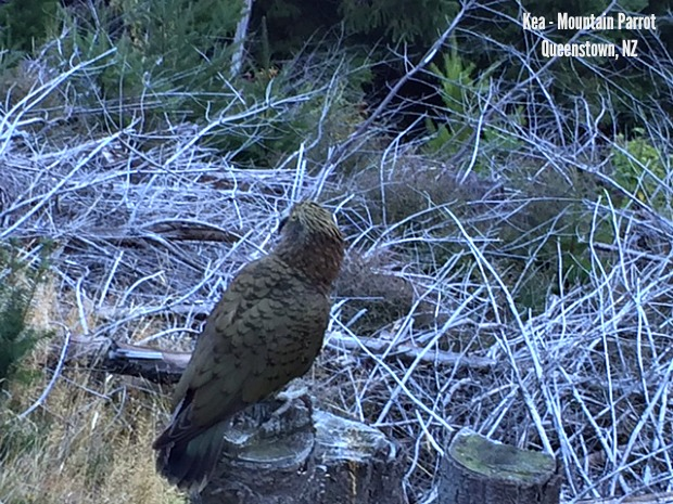 Kea - Mountain Parrot Queenstown