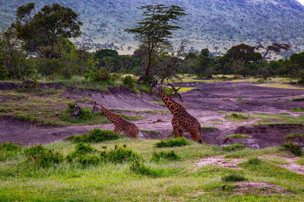 Serengeti, Africa-Giraffes Grazing in the Grass