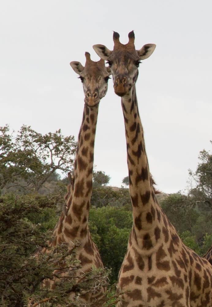 Serengeti, Africa-Giraffes Mates