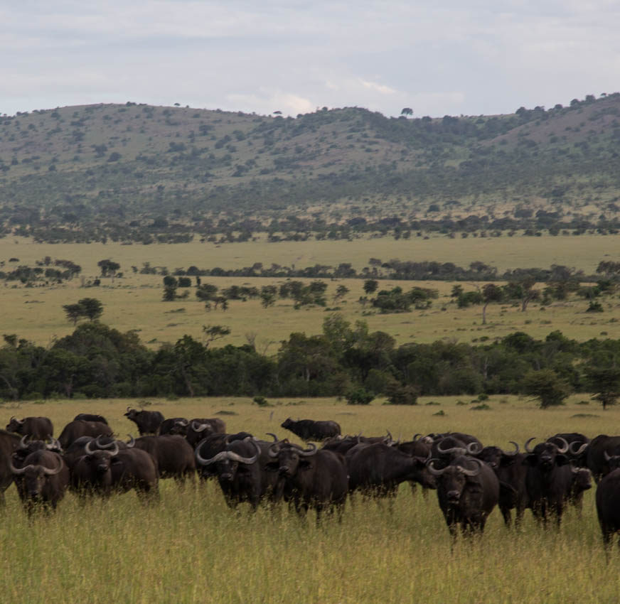 Serengeti, Africa- Herd of Buffalo