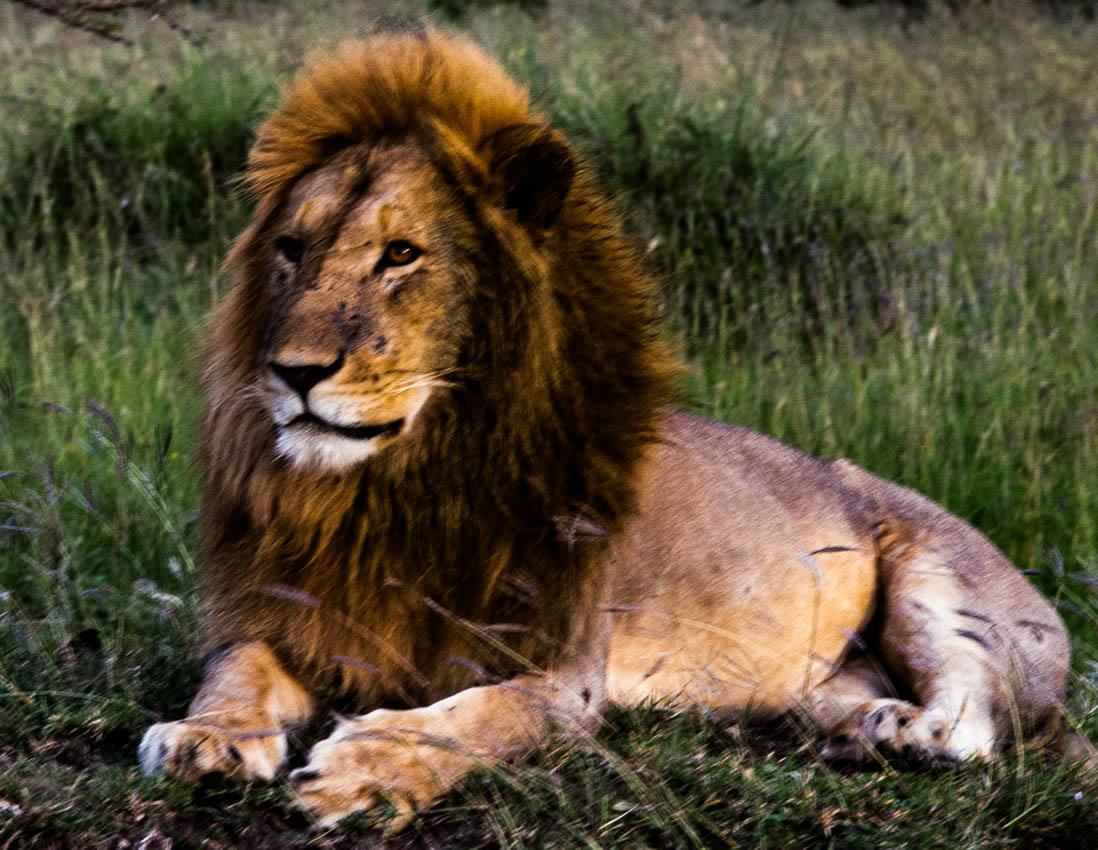 Serengeti, Africa- Lions of Tanzania