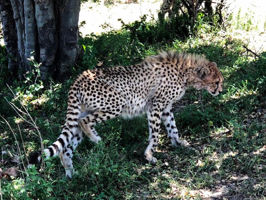 Serengeti, Africa- Cheetahs