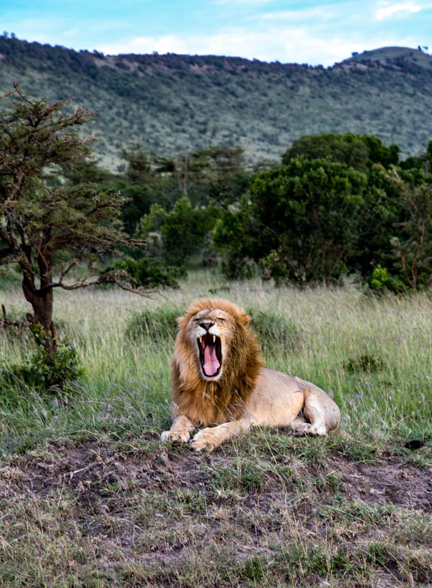 Serengeti, Africa-Tired Lion