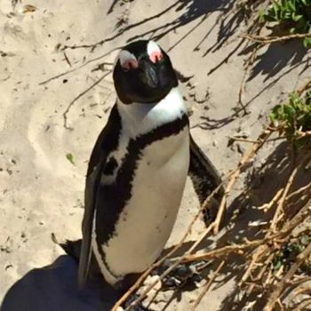 Penguin habitat off the coast of Cape Town South Africa