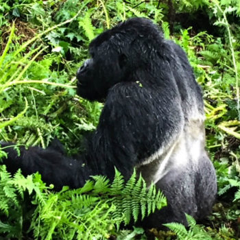 Gorilla Trekking in Rwanda we came across a Silverback