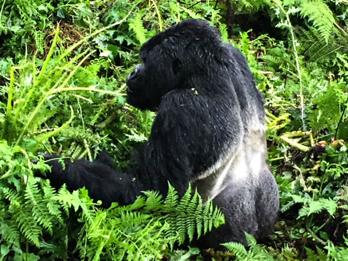 Gorillia Trekking in Rwanda we came across a Silverback