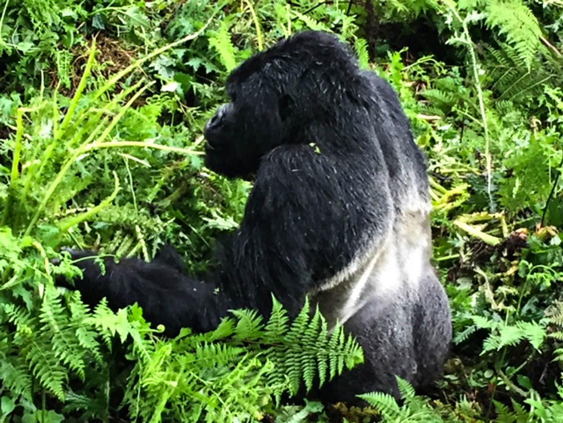 Gorillia Trekking in Rwanda we came across a Silverback