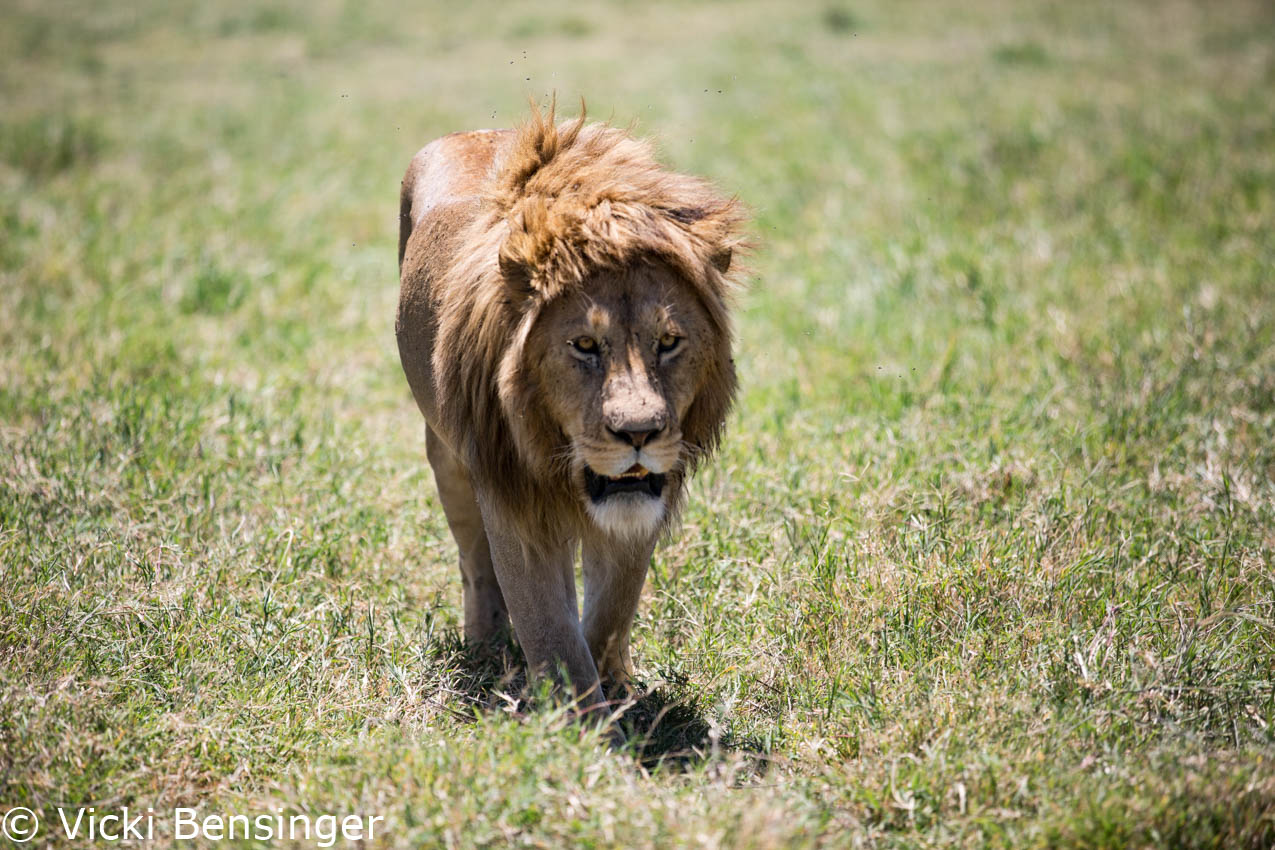King Lion looking for some shade on a hot day