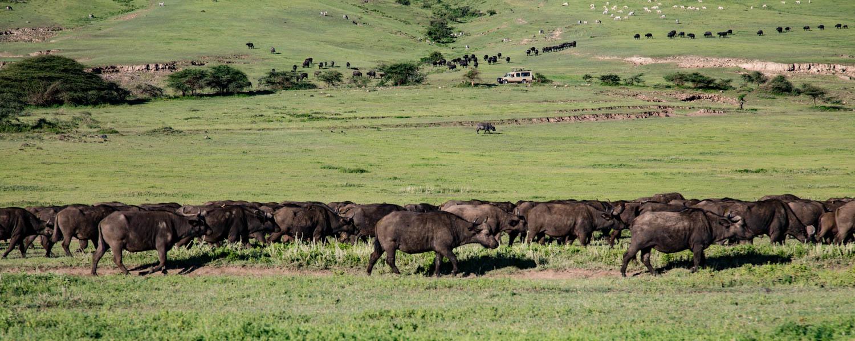 Ngorongoro Crater Buffalo