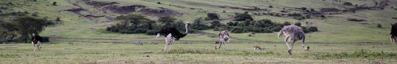 Ngorongoro Crater Ostrich