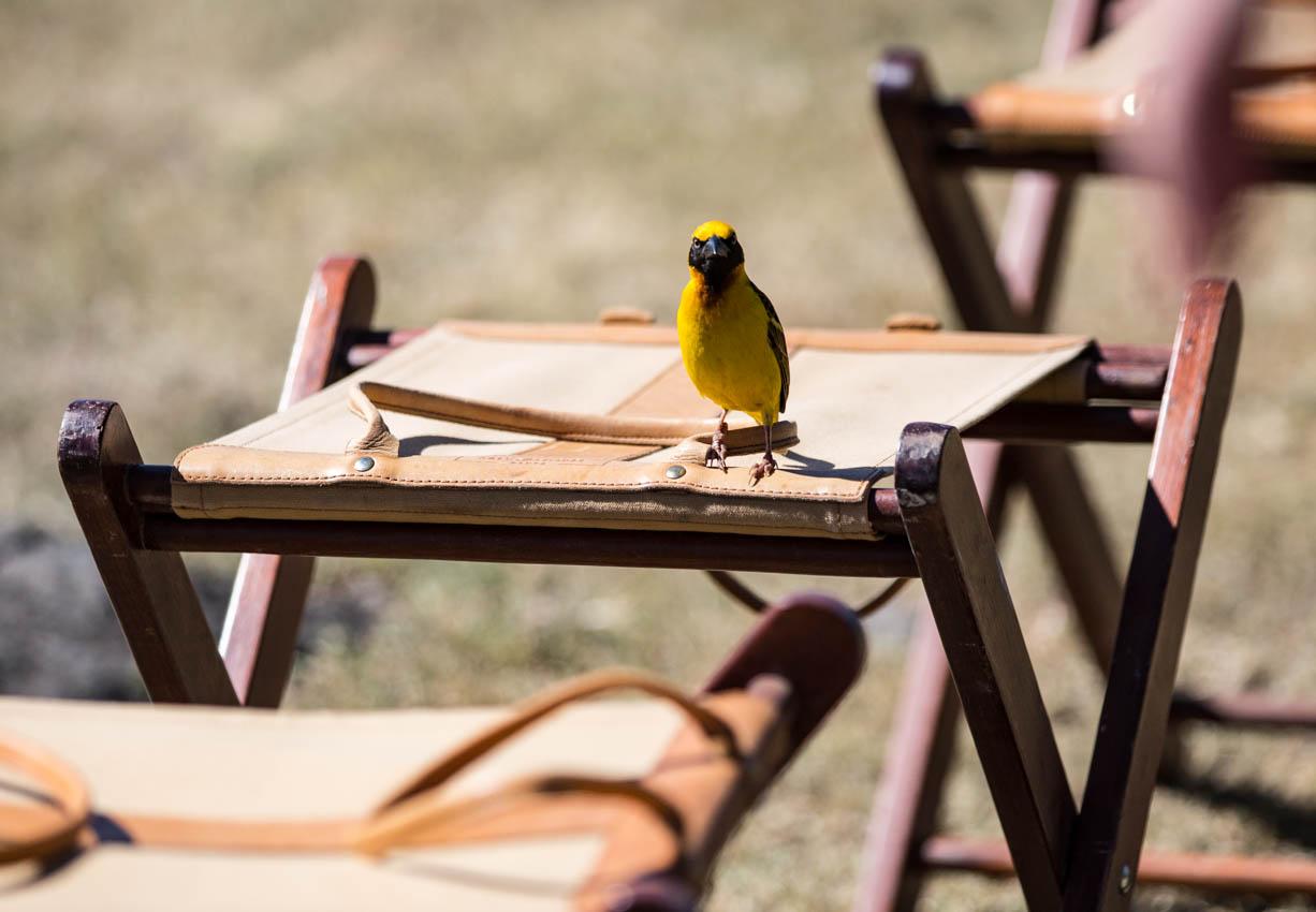 Ngorongoro Crater Yellow Bird joining us at breakfast