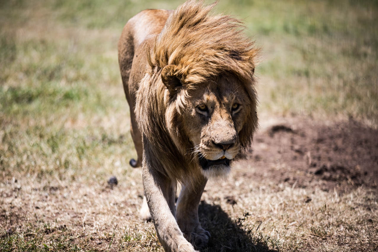 King Lion approaching our vehicle