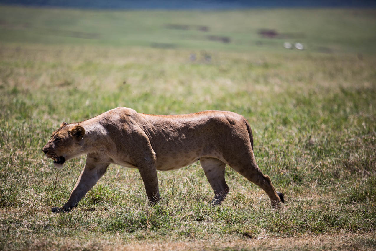 Ngorongoro Crater Lioness was angry