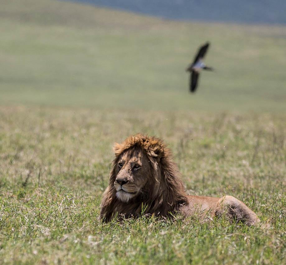 Ngorongoro Crater Lion resting
