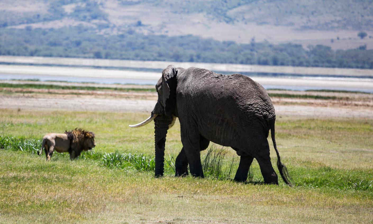 Elephant chasing Lion