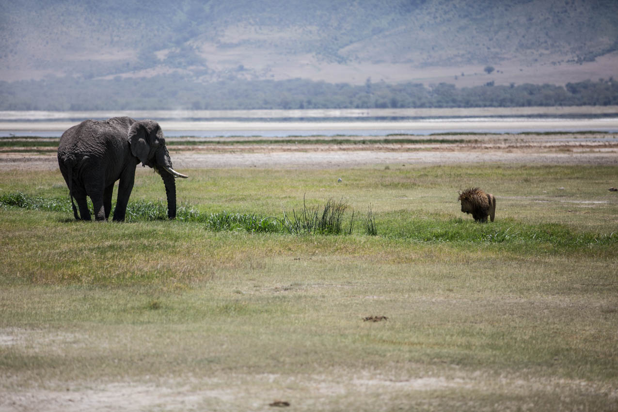 Ngorongoro Crater Elephant showing Lion who's King